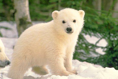 polar-bear-cub_917.jpg