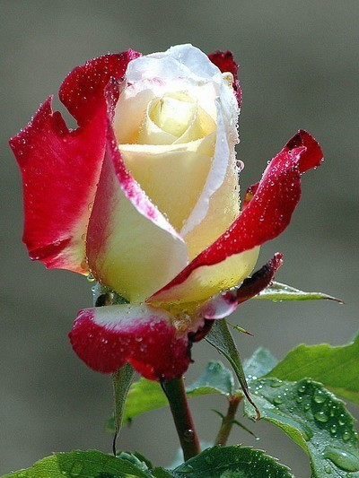 picture-red-rose-white.jpg