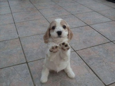 cute_cocker_spaniel_puppy.jpg