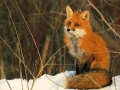 The fox writers
